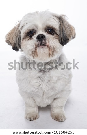 shitzu - stock photo