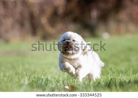 Shitzu at the park running - stock photo