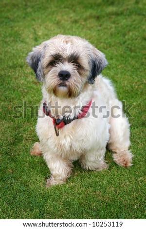 shitzu dog on grass - stock photo