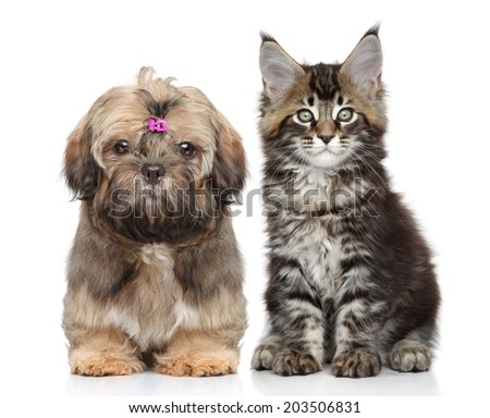 Shitzu puppy and Maine Coon kitten on white background - stock photo