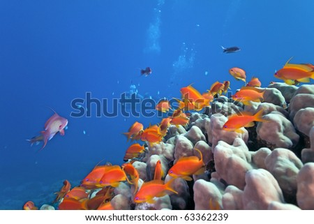 Shoal of anhthias fish on the coral reef - stock photo