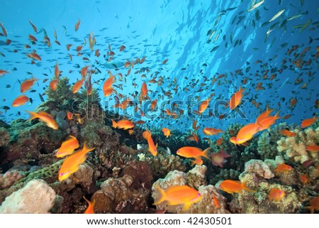 Shoal of anthial fish on the coral reef - stock photo