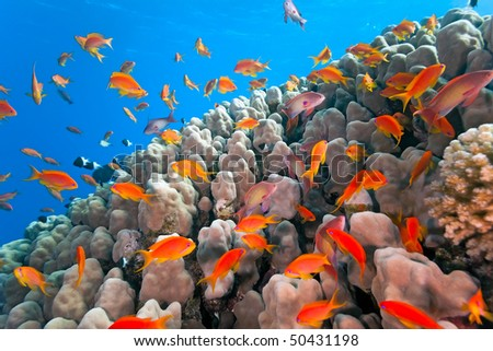 Shoal of anthias fish on the coral reef - stock photo