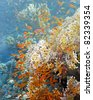 Shoal of anthias fish on the fire coral - stock photo