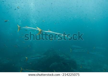 Shoal of barracudas - stock photo