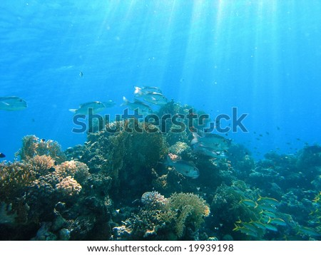 Shoal of big-eye emperor on the reef - stock photo