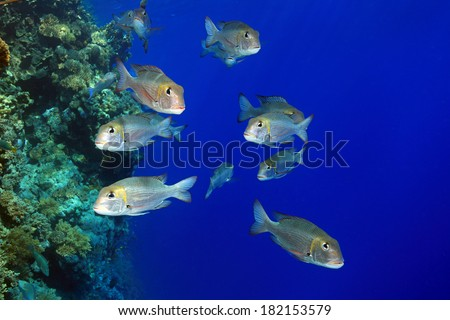 Shoal of bigeye emperor fish in the tropical reef of the red sea  - stock photo