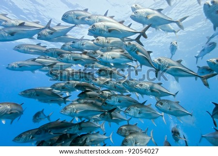 Shoal of Bigeye Jack from mexico