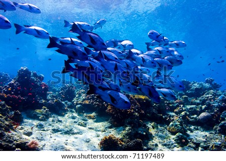 Shoal of black snapper (Macolor niger) swimming over the reef crest. Taken in Sipidan, Borneo, Malaysia.