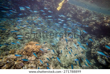 Shoal of blue fusilier. Underwater landscape. Red sea coral reef. - stock photo