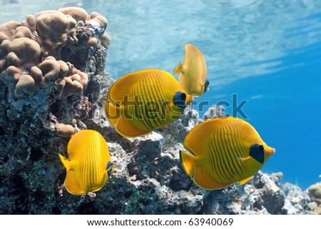 Shoal of butterfly fish on the reef - stock photo
