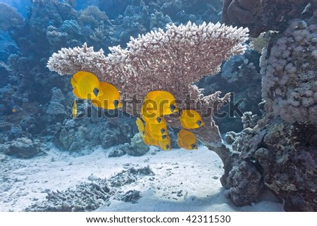Shoal of butterfly fish under table coral - stock photo