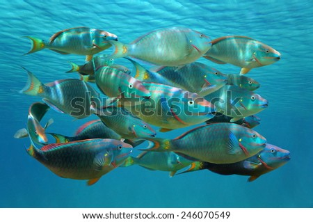 Shoal of colorful tropical fish, Stoplight parrotfish in terminal phase, under the water surface, Caribbean sea - stock photo