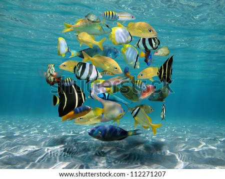 Shoal of colorful tropical fish underwater sea between sandy seabed and water surface, Caribbean