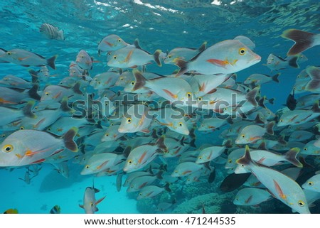 Shoal of fish humpback red snapper, Lutjanus gibbus, underwater in the lagoon of Rangiroa, Pacific ocean, French Polynesia