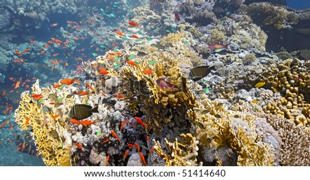 Shoal of fish on the fire coral