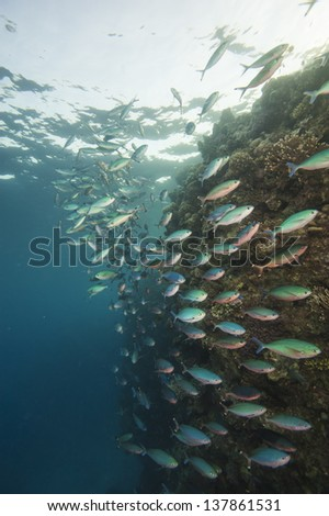 Shoal of fusiliers swimming on a tropical coral reef - stock photo