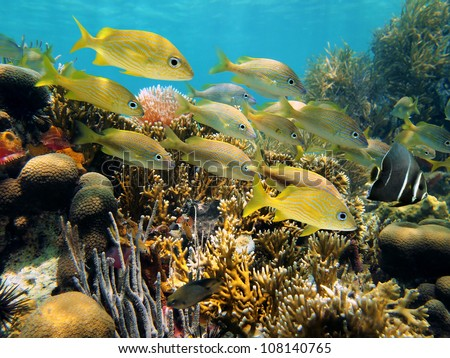 Shoal of grunt fish in a beautiful coral reef with an angelfish leading them, Caribbean sea, Yucatan, Mexico - stock photo