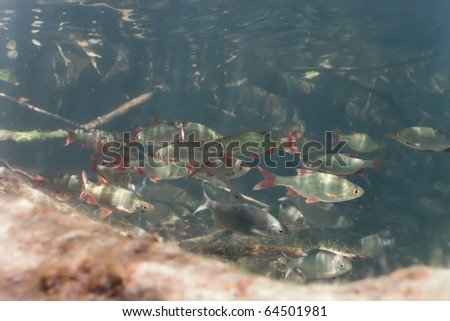 Shoal of roach and white bream in the lake - stock photo