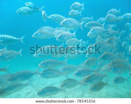 Shoal of Sand steenbras fish, Lithognathus mormyrus, in the Mediterranean sea, Balearic Islands, Majorca, Spain - stock photo