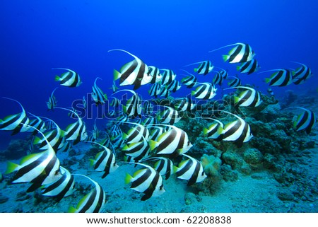 Shoal of Schooling Bannerfish (Heniochus diphreutes) - stock photo