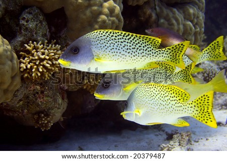 Shoal of sweetlips - picture taken in the red sea - stock photo