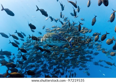 Shoal of trevally fish - stock photo