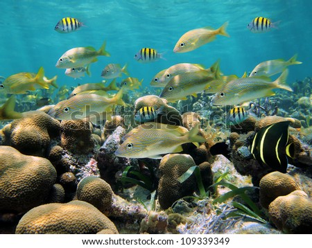 Shoal of tropical fish in a shallow coral reef of the Caribbean sea, Bocas del Toro, Panama - stock photo