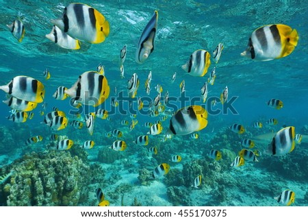 Shoal of tropical fish, Pacific double-saddle butterflyfish, Chaetodon ulietensis, in shallow water of a lagoon, Pacific ocean, French Polynesia