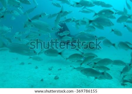 Shoal of white seabream  - stock photo