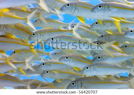 Shoal of yellowfin goatfish - stock photo