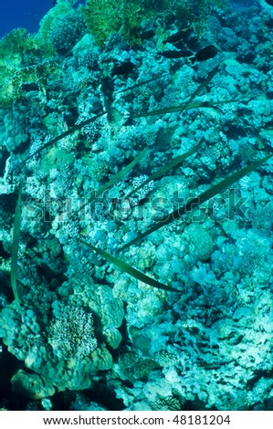 shoals of needlefish on coral reef  background . Wildlife of Red Sea, Egypt