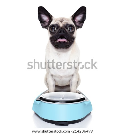 shocked and surprised pug dog about his weight on a scale