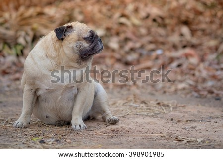 Shocking face of pug dog when big cat walk pass.(Fawn pug dog sitting on ground with dry Leaves background.) - stock photo