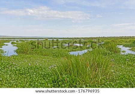Shoebill in Wetland Habitat in the Victoria Nile Delta - stock photo