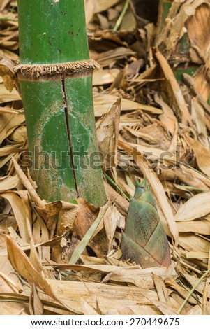 Shoot of Bamboo in the forest - stock photo