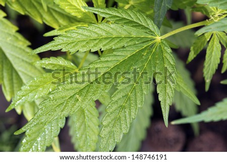 Shoot of natural cannabis ruderalis growing in a cultivated garden - stock photo