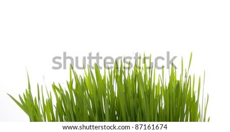 Shoot of wheat. - stock photo