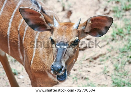 Shooting, deer show anger at a zoo in Khao Kheow Zoo Thailand. - stock photo
