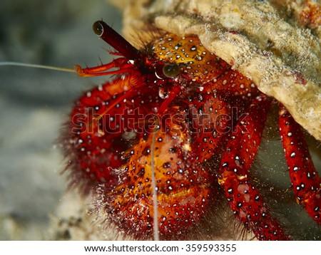 Shooting hermit crab in similan Island, Thailand - stock photo
