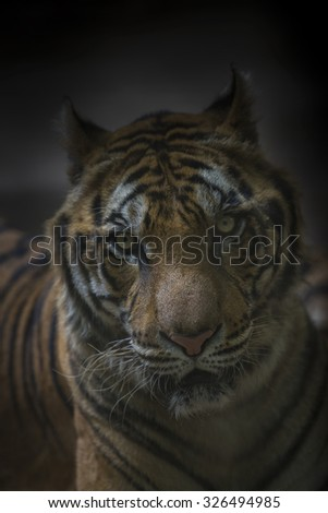 Shooting tigers natural evening and burr'sbackgournd. - stock photo