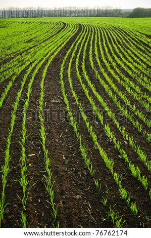 shoots of wheat in the fields - stock photo