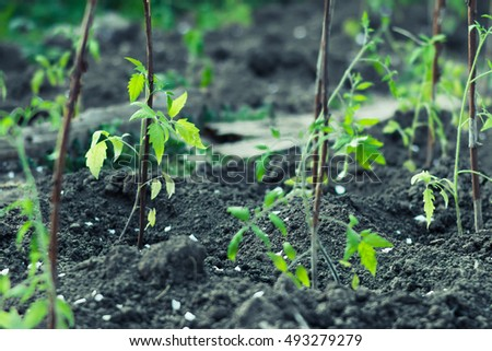 Shoots tomatoes in the garden early spring