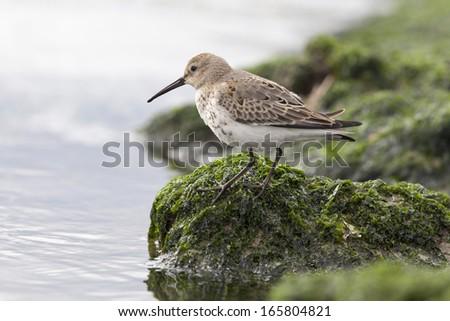 shore birds - stock photo