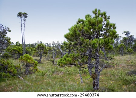 Shore Pines in a Bog, Canada - stock photo
