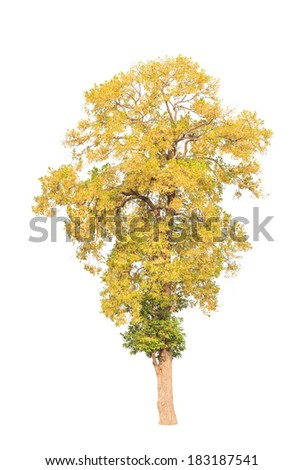 Shorea roxburghii, blossoming tropical tree in the northeast of Thailand isolated on white background - stock photo