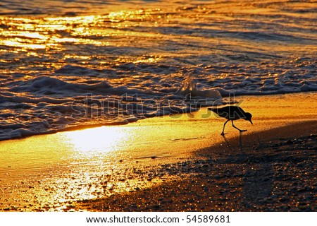 shorebird Sanibel Island Florida beach at sunset - stock photo