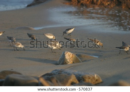 Shorebirds searching the beach for food - stock photo