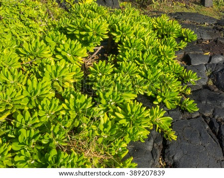 Shoreline purslane (Sesuvium portulacastrum) is a sprawling perennial herb that grows in coastal areas throughout much of the world.