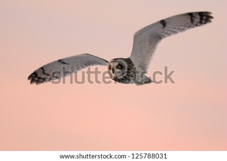 short-eared owl (Asio flammeus) in flight at sunset - stock photo